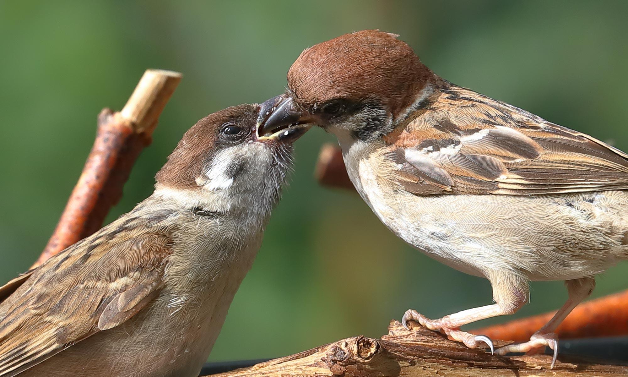 Feldsperling (Tree Sparrow) füttert seinen Jungvogel