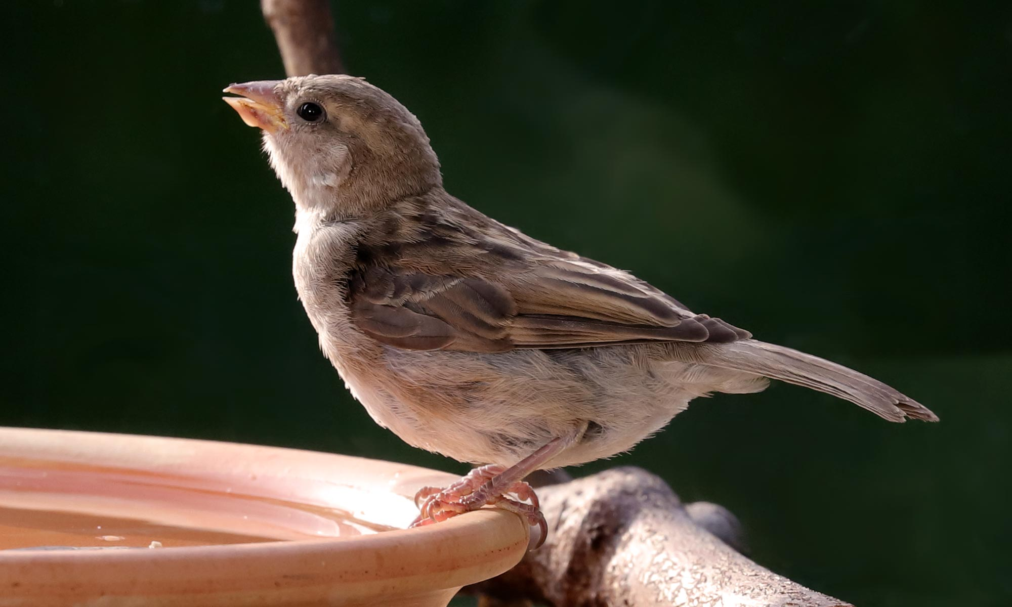 junger Haussperling (House Sparrow) beim Trinken