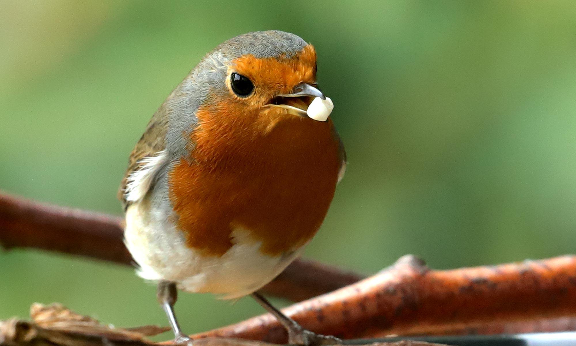 Rotkehlchen (Robin) mit Nuss